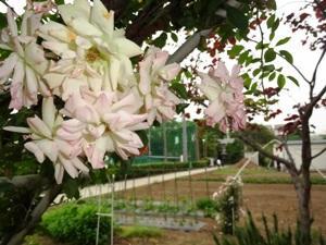 羽生実業バラ園
